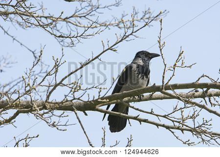 Black and grey  crow isolated on tree branch