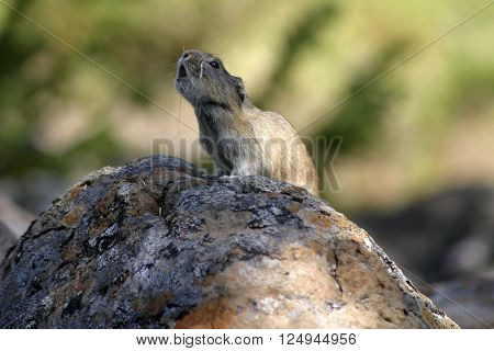 Small rodents in stone with parted lips a soft background