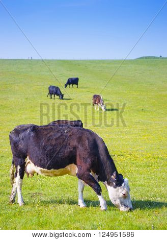 Cows in valley in the Countryside near Stonehenge in Wiltshire in the the UK. Wiltshire is a county in South West England. It is famous for many valleys and downhills.