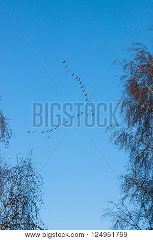 Flock of flying geese in a blue sky during spring or autumn migration.