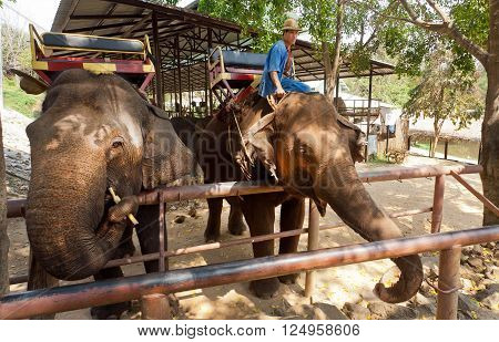 LAMPANG, THAILAND - FEB 19: Two elephants eating fruits at territory for animals in Thai Elephant Conservation Center on February 19, 2016. The Center - TECC founded in 1993 under Royal Patronage