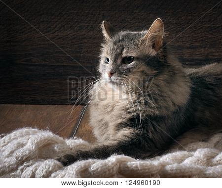 Gray fluffy, big cat on the floor on a white knitted rug. Eyes are green. Cat dissatisfied
