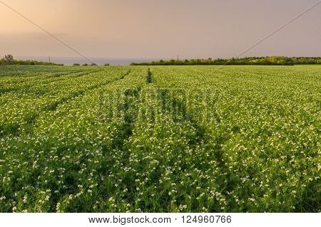 Pea field at evening time in central Ukraine ** Note: Soft Focus at 100%, best at smaller sizes