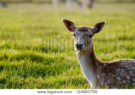 The sika deer (Cervus nippon) on the grass