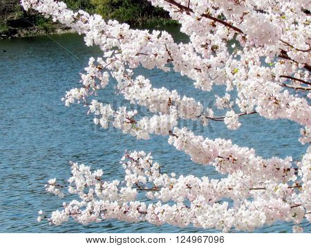 Cherry Blossoms branchs in High Park of Toronto 7 May 2015 Canada