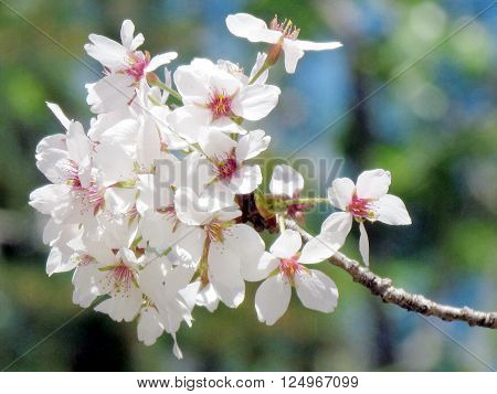 Cherry flowers in High Park of Toronto 7 May 2015 Canada