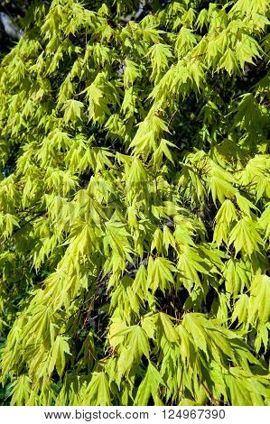 A Acer palmatum tree growing in a garden on a sunny day