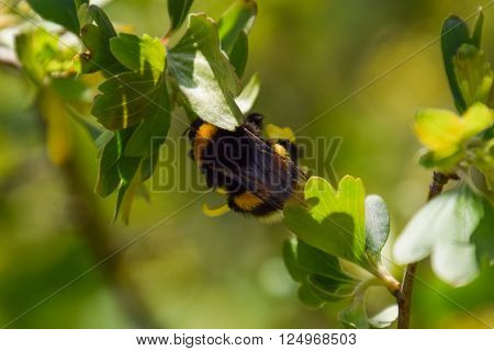 Bumblebee On The Flowers Of Golden Currant