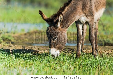 Indian donkey grazing. Many donkeys in India work long hours on building sites and in brick kilns to help their owners earn a basic living.
