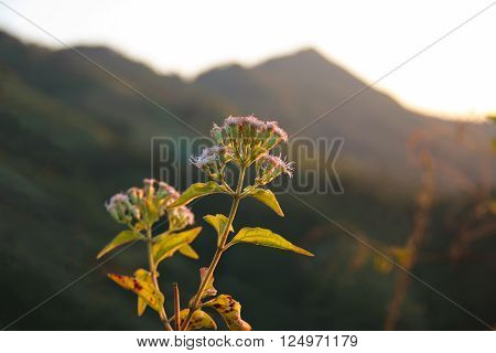 Bitter bush Siam weed Eupatorium odoratum L. on afternoon with sunset light
