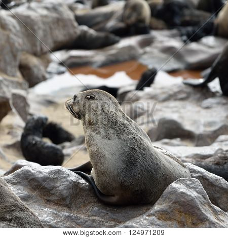 Cape fur seal sits on the stone coast of Atlantic ocean. Seal colony on the Cape Cross Skeleton Coast Namibia