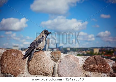 Black crow is standing on the stone summer day. Look at the town.