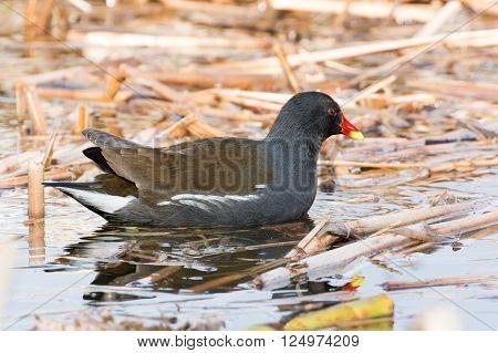 Portrait Of A Red Yellow Beak Swamp Chicken Swimming