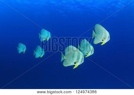 School of fish in sea (Batfish or Spadefish)
