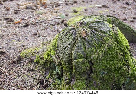 Recently sawed tree stump protrudes above the ground.