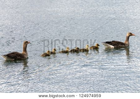 Family Of Gray Goose Swimming Over Sea