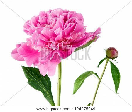 pink peony on a white background . Flower