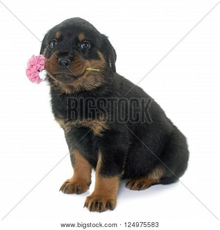 puppy rottweiler and flower in front of white background