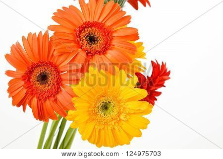 Gerber Daisy isolated on white background. Flower