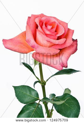Pink roses bouquet isolated on white background
