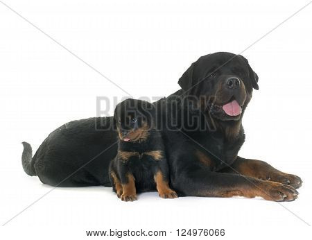 adult and puppy rottweiler in front of white background ** Note: Visible grain at 100%, best at smaller sizes