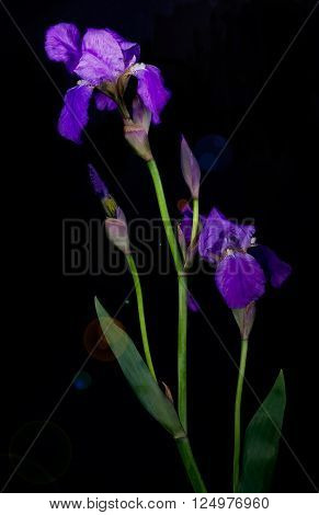 Violet flower iris on the black background