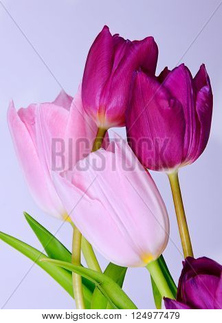 Five colorful tulips isolated on white. Flower