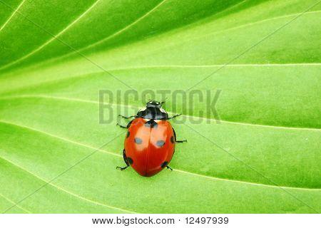 ladybug on big green leaf