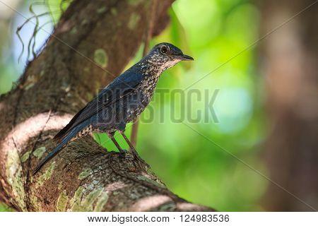 Blue Rock Thrush bird (Monticola solitarius) standing in nature