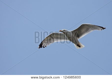 looking up at a seagull flying in a blue sky ** Note: Soft Focus at 100%, best at smaller sizes