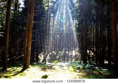 Sunlight in the green forest.Beautiful morning scene in the forest with sun rays and long shadows ** Note: Soft Focus at 100%, best at smaller sizes