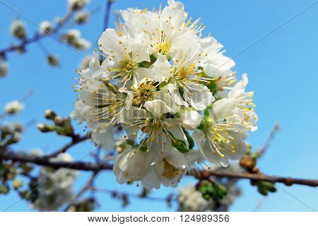 Branches of a blossoming apple tree against the blue sky. Spring greening