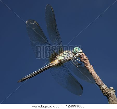 Dragonfly on a stick with blue eyes and light green body