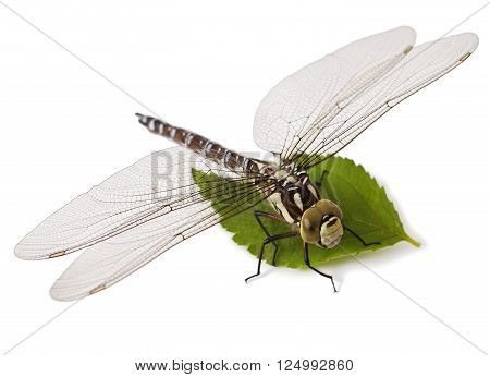 Dragonfly isolated on a white background. Odonata
