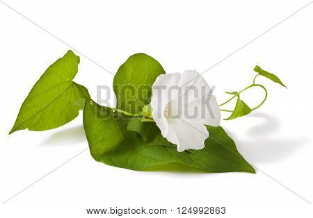 Convolvulus arvensis flowers on a white background