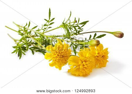 Yellow flower of marigold isolated on white. Tagetes