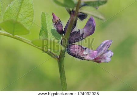 Bush Vetch - Vicia sepium  Hedgerow pea flower