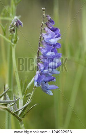 Tufted Vetch Vicia cracca  Blue climbing vetch