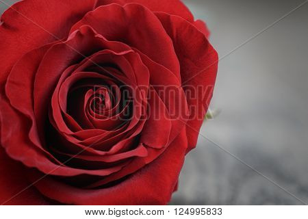 red rose close up photo, shallow focus