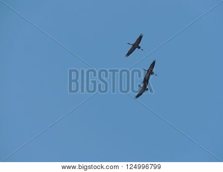 Three grey herons (Ardea cinerea) in flight