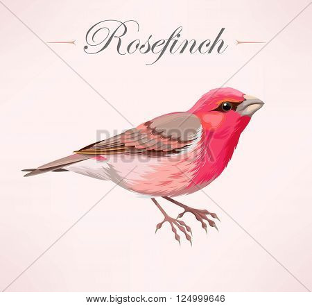 Vecror illustration of high detailed rose finch