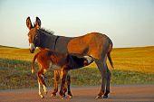 stock photo of burro  - A brown burro nurses its brown foal in Custer State Park - JPG