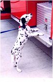 picture of firehouse  - dalmatian mascot at an american fire station - JPG