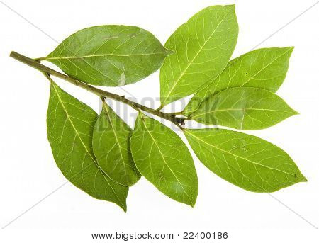 branch of bay leaves isolated on white