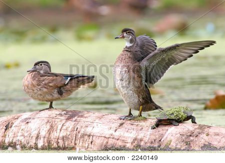 Pair Of Wood Ducks With A Turtle