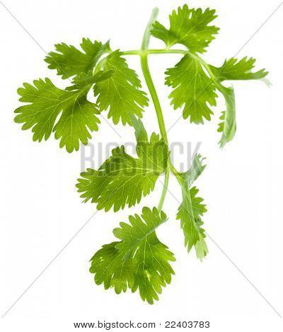 Fresh cilantro coriander leaves