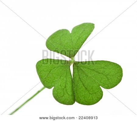 Shamrock clover , isolated on white - symbol of holiday St Patrick's Day
