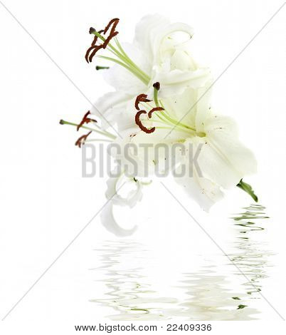 white flower lily