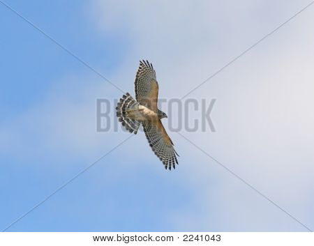 Red-Shouldered Hawk In The Florida Everglades
