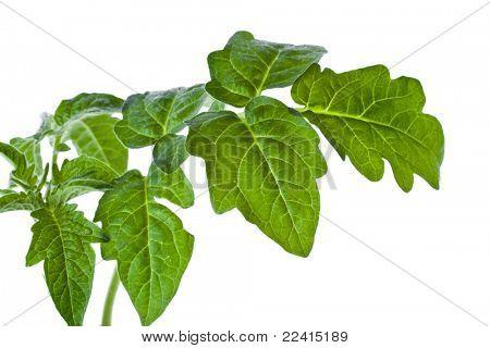 leaf tomato isolated